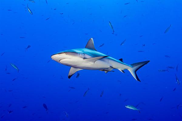 Tiburón arrecife en Maldivas