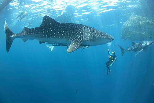 Whale Shark Excursion de Sun Island Resort and Spa