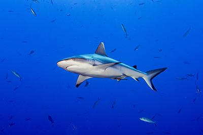 Grey shark, tiburones de arrecife