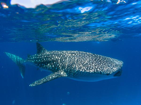 Tiburon ballena en Ari Atoll