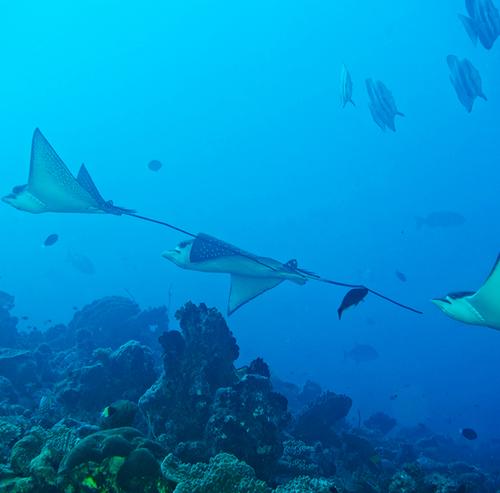 Buceo con Eagle Ray en Maldivas